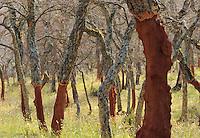 Cork Oak (Quercus suber) Aggius, Sardinia, Italy