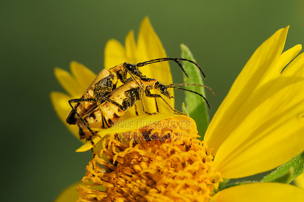 Soldier beetles (Cantharidae), mating on Cowpen Daisy, Golden Crownbeard (Verbesina encelioides), blooming, Laredo, Webb County, South Texas, USA