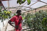 labur gathering tomatoes