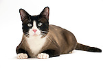 Snowshoe Cat - Male - Laying down
