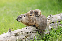 Woodchuck (Marmota monax), adult, carrying two young on back, Minnesota, USA, North America