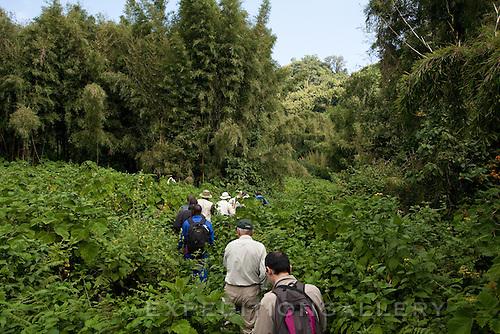 Trekking through dense vegetation in Volcanoes National Park (Parc National des Volcans), Rwanda. [NO MODEL RELEASE]