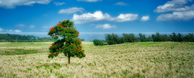 African Tulip tree in pasture and ocean. Kohala Coast, Hawaii. The Big Island