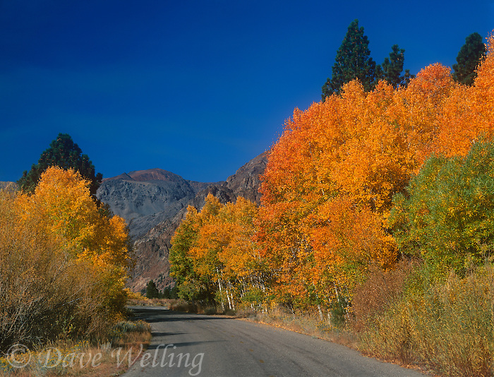742900062 aspens populus tremuloides in golden fall color line the road into lundy canyon in the eastern sierras in mono county california