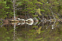 Caledonian Pine Forest reflected in the still water of Loch Garten, Cairngorms National Park,  Scottish Highlands, Uk