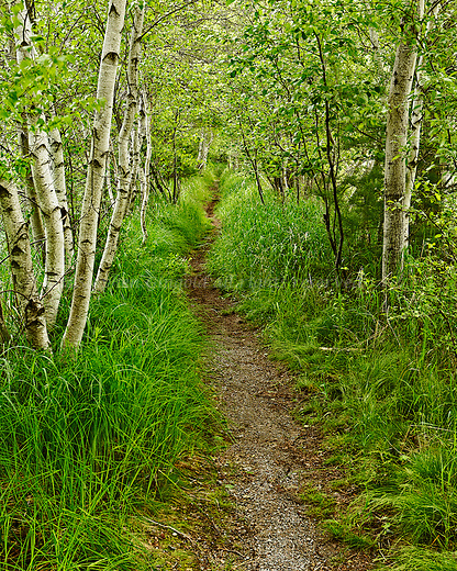 Birches create an arch over a stretch of the Hemlock Trail in the Great Meadows section of Acadia National Park in Maine.