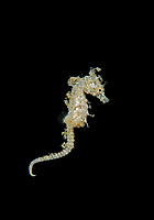 dwarf seahorse, Hippocampus zosterae, swimming, Key Largo, Florida, USA, Atlantic Ocean