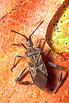 Western Conifer Seed Bug