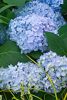 Blue flowering Hydrangea macrophylla Endless Summer shrub in bloom