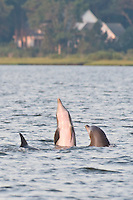 Dolphins playing in the Assawoman Bay on an early summer morning near Sherwood Forest in Ocean Pines, MD and Ocean City, MD.
