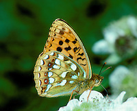 High Brown Fritiallary - Fabriciana adippe