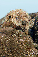 Sea Otter (Enhydra lutris) pup resting against mom.