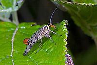 Skorpionsfliege, Skorpions-Fliege, Männchen mit skorpionsschwanzartiger Hinterleibsspitze, Panorpa communis, common scorpionfly, male, Panorpidae, Skorpionsfliegen, scorpionflies