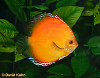 0116-0905  Orange Discus (Red Marlboro Discus), Symphysodon aequifasciata  © David Kuhn/Dwight Kuhn Photography