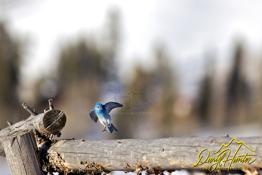 Mountain Bluebird, Jackson Hole, Wyoming