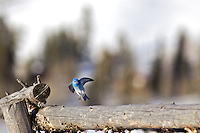 Mountain Bluebird, Jackson Hole, Wyoming