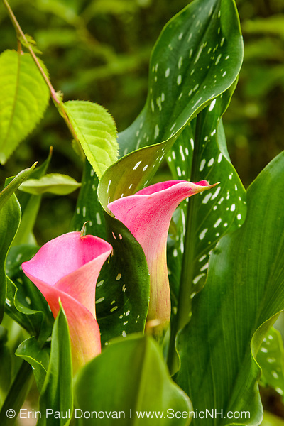 Calla Lilies in a New Hampshire garden during the summer months.