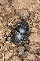 Mistkäfer, an Kot, Kotpillen, Losung von Wildkaninchen, Jekelius intermedius, Thorectes intermedius, scarab beetle, scarab beetles, dung beetle, earth-boring dung beetles, Geotrupidae. Korsika, Corsica