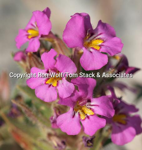 Dwarf Purple Monkeyflower (Mimulus nanus) a/k/a Dwarf Monkey Flower. South Tufa Area. Mono Lake Tufa State Reserve. Near Lee Vining, Mono Co., Calif.