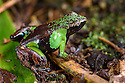 Marojejy Green and Brown Mantella Frog (Mantella nigricans) in leaf litter in lowland rainforest. Marojejy National Park, north east Madagascar.