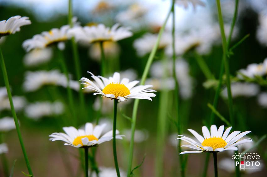Wild Daisies grow in abundance in northern Wisconsin.
