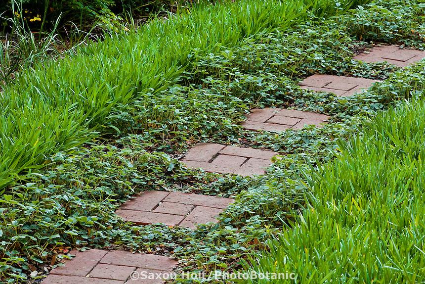 Brick pathway between native groundcovers, Sisyrinchium and Fragaria in  California native plant garden, Santa Barbara