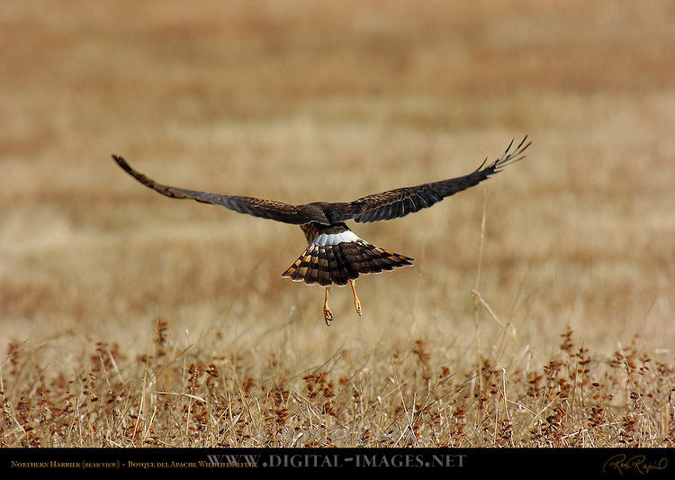Northern Harrier Departing, rear view, Bosque del Apache Wildlife Refuge, New Mexico