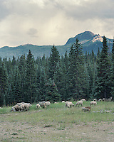 Alberto Oscanoa with the Perilous Sheep Company, herds sheep along Highway 8 in Routt National Forest, Colorado, Thursday, August 13, 2015.<br /> <br /> Photo by Matt Nager