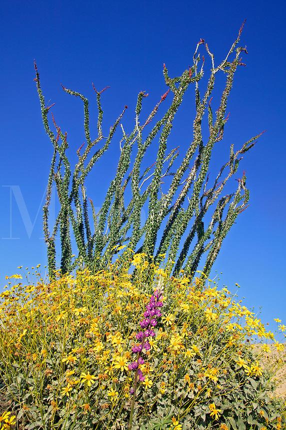 Wildflowers including Brittlebush (Encelia farinosa) Ocotillo (Fouquieria splendens), Anza-Borrego Desert State Park, California