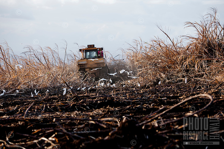 Harvesting sugar cane at sunset, Haili'imaile Plantation, Maui
