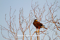 00811-00402 Harris' Hawk (Parabuteo unicinctus) in tree Starr County, TX