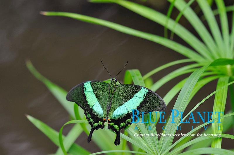 Emerald Swallowtail (Papilio Palinurus), Malaysia, Philippines, Asia