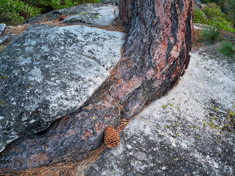 Ponderosa Pine tree struggling to grow in granite rock crack. Lake Tahoe, California/Nevada