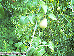 A premature pears growing in a backyard.