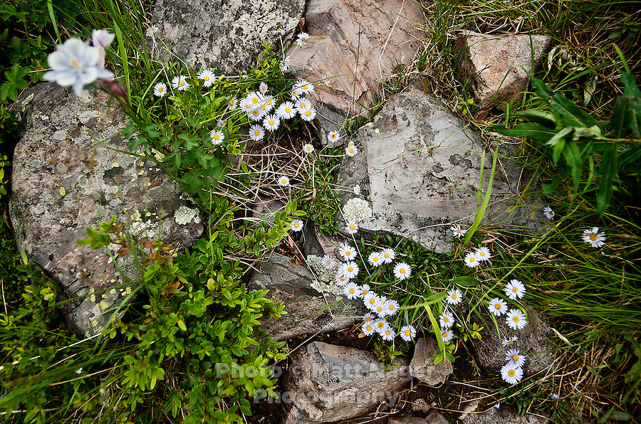 Showy Fleabane or Erigeron speciosus wildflowers near the Maroon Bells in Aspen, Colorado, July 12, 2011...Photo by Matt Nager