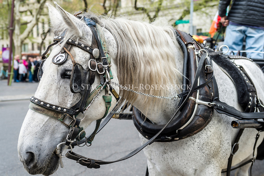 New York, NY 31 March 2016 - White Carriage horse in Grand Army Plaza near Central Park South.