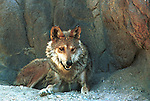 Mexican Gray Wolf, wolf, canis lupus baileyi, gray wolf, North America,  C.I. baileyi,Fine Art Photography, Ronald T. Bennett (c) Fine Art Photography by Ron Bennett, Fine Art, Fine Art photography, Art Photography, Copyright RonBennettPhotography.com ©