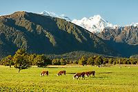 Morning on beef farm at Fox Glacier, Westland Tai Poutini National Park, West Coast, New Zealand, NZ