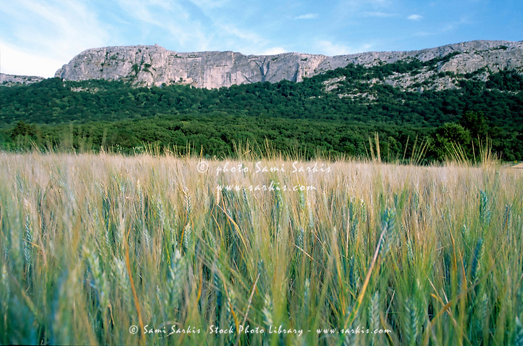 Wheat field next to steep cliffs, Plan-d'Aups-Sainte-Baume, Provence, France.