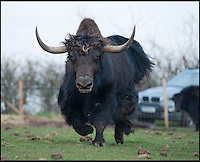 BNPS.co.uk (01202 558833)<br /> Pic: PhilYeomans/BNPS<br /> <br /> Over half a ton of bull Yak.<br /> <br /> An enterprising farming couple have taken the unusual step of introducing the Himalayan Yak to the rolling fields of rural Cheshire.<br /> <br /> The fearsome looking bovid, more normally found in freezing temperatures on the tibetan plateau, has been introduced to Britain for the first time in an attempt to boost production in the dairy herd, as well as for the potential health benefits of its low cholestrol meat.<br /> <br /> Unlike domestic cattle the frisky Yaks can be left out in all weathers, happy dealing with temperatures as low as -40 - They also sport four foot wide horns, are very nimble on their feet and are quite capable of jumping a five bar gate if spooked.<br /> <br /> Helen and Matt Worth from Congleton are confidant their Yak breeding plans will catch on although it is unlikely the grunting of Yaks will replace the mooing of traditional cattle any time soon.