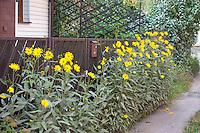 Garden of yellow daisies in Poland. Rawa Mazowiecka Central Poland