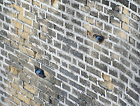 Two Pigeons sitting in holes in the brick wall