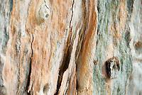 Spain, Canary Islands, La Palma, Eucalyptus tree, member of the Myrtle family, bark