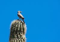 A female Gilded Flicker, Colaptes chrysoides, perches on a Saguaro cactus, Carnegiea gigantea, in Saguaro National Park, Arizona