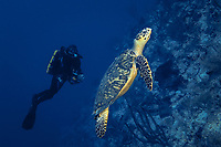 Rebreather scuba diver and hawksbill sea turtle, Eretmochelys imbricata, along outer wall, Grand Cayman Island, British West Indies, Caribbean, MR