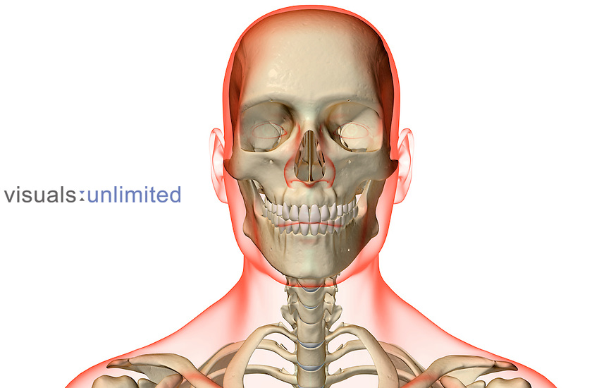An anterior view of the bones of the head and neck. The surface anatomy of the body is semi-transparent and tinted red. Royalty Free