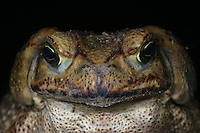 Giant Toad; Bufo marinus; face; Panama, El Valle