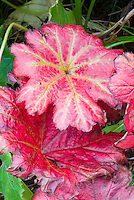 Darmera peltata in autumn fall foliage leaves color