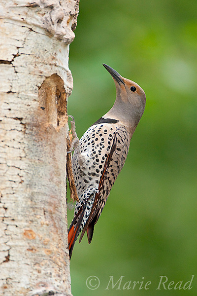 Northern Flicker (Colaptes auratus), female, red-shafted race, outside its nest hole in Quaking Aspen (Populus tremuloides) trunk, Mono Lake Basin, California, USA. Red shafts of tail feathers visible.