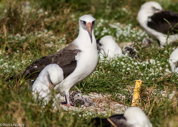 Wisdom is the oldest known wild bird in the world. Here you see her with her chick in 2012.